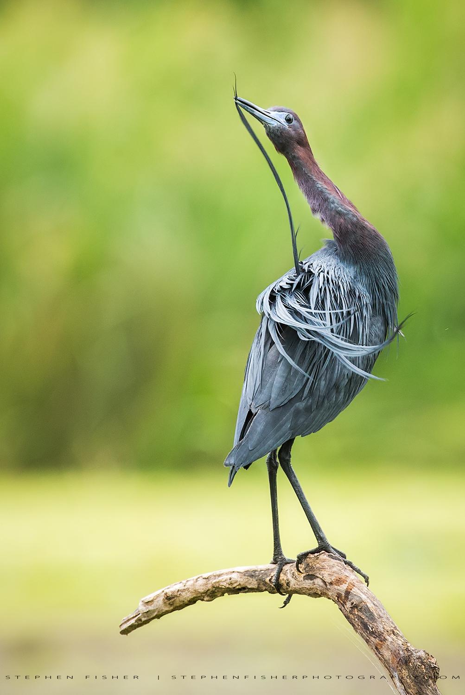 Little Blue Heron Refugio County, TX