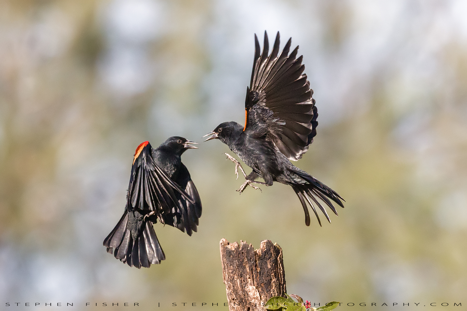 Red-wing-Blackbird-1.jpg
