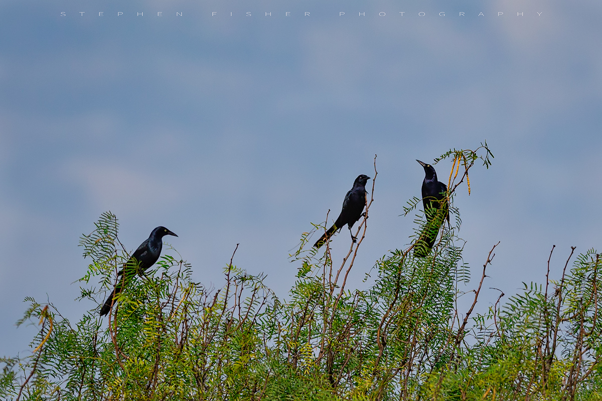Boat-tailed Grackle Trio Aransas County TX