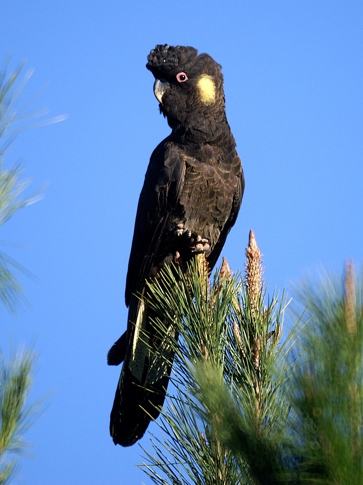 yellow-tailed-black-cockatoo-01.jpg