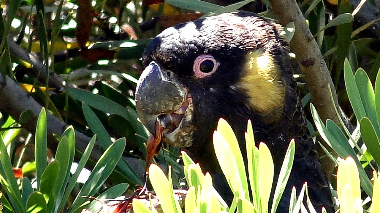 yellow-tailed-black-cockatoo-02.jpg