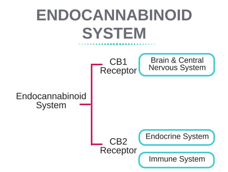 Endocannabinoid-System-768x644.png