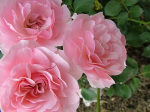 Roses are uplifting and antidepressant, and if unsprayed, they are edible and make a lovely tea.