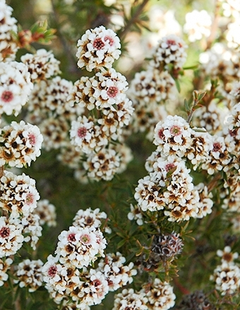 Fragonia (Agonis fragrans) is a unique West Australian flower with a wonderful fragrance.
