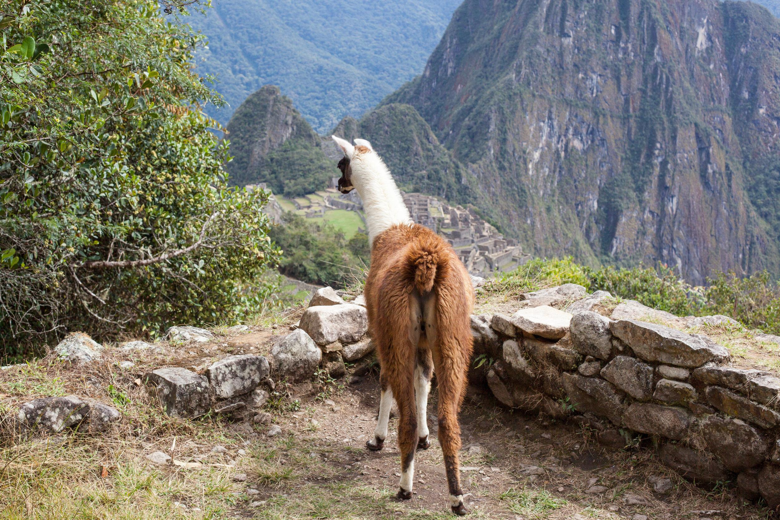 Llama_DOwn_MP.jpg