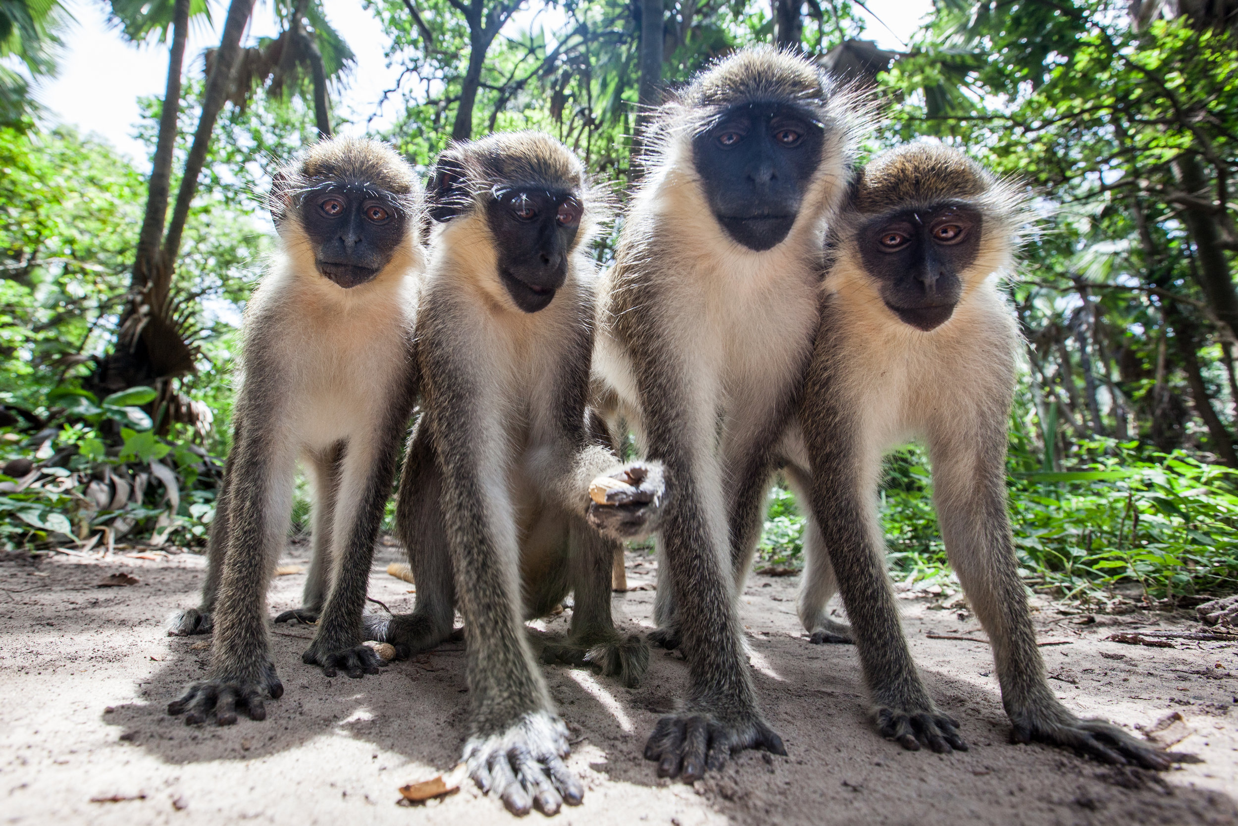 Four monkeys line up for a group shot in the Gambia.