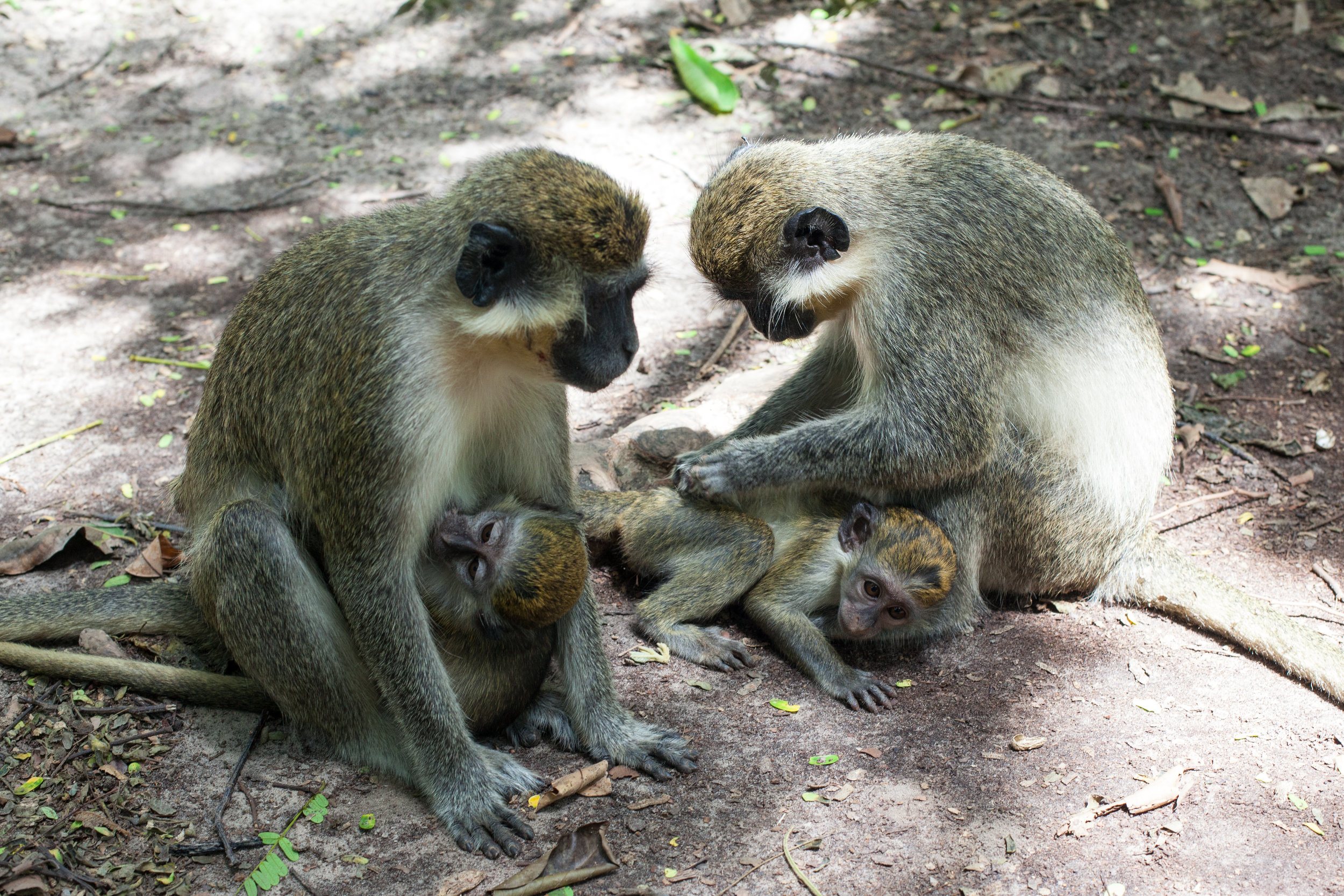 Monkeys at the Bijilo Forest Park, The Gambia