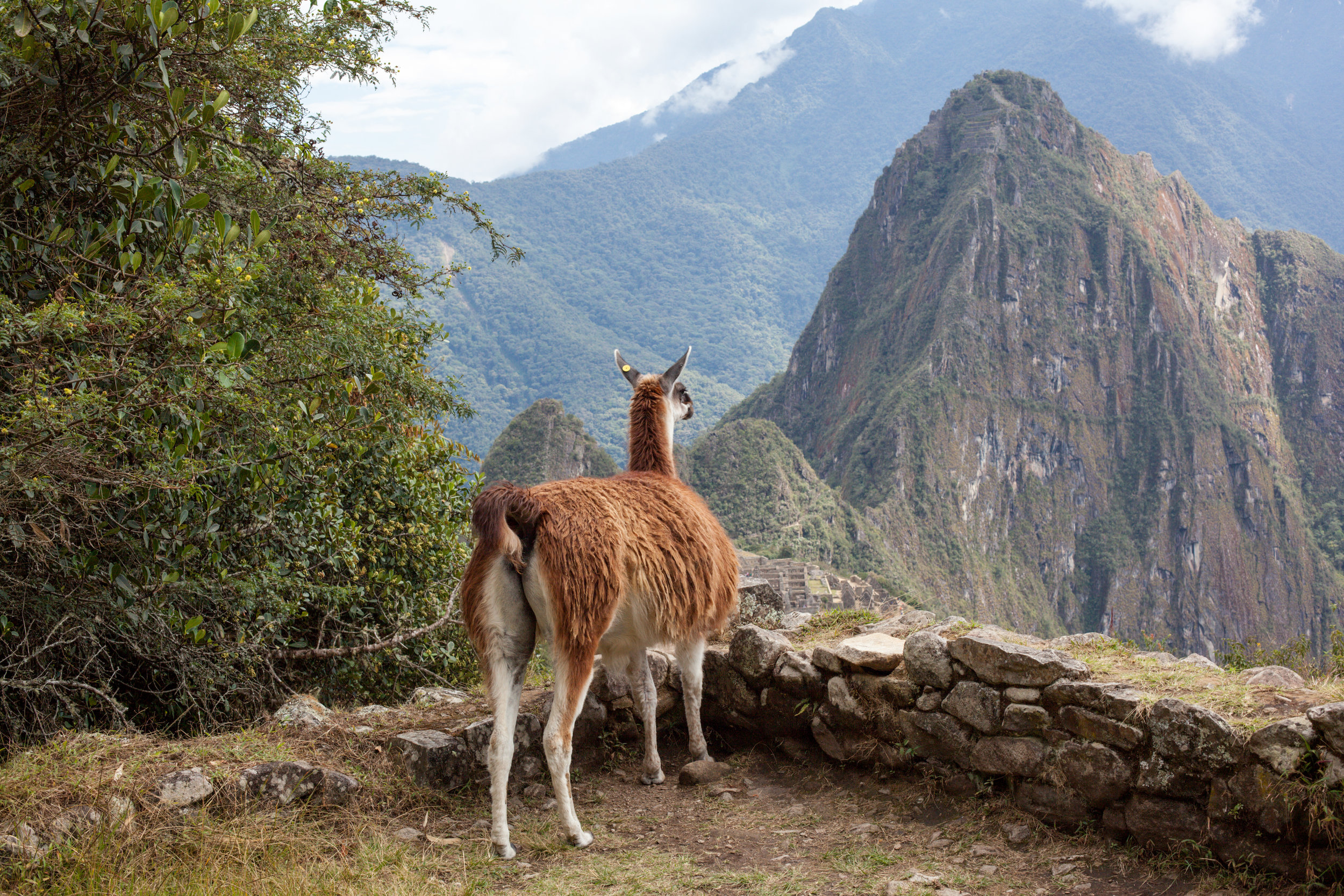 A llama enjoys the view of Machu Picchu.