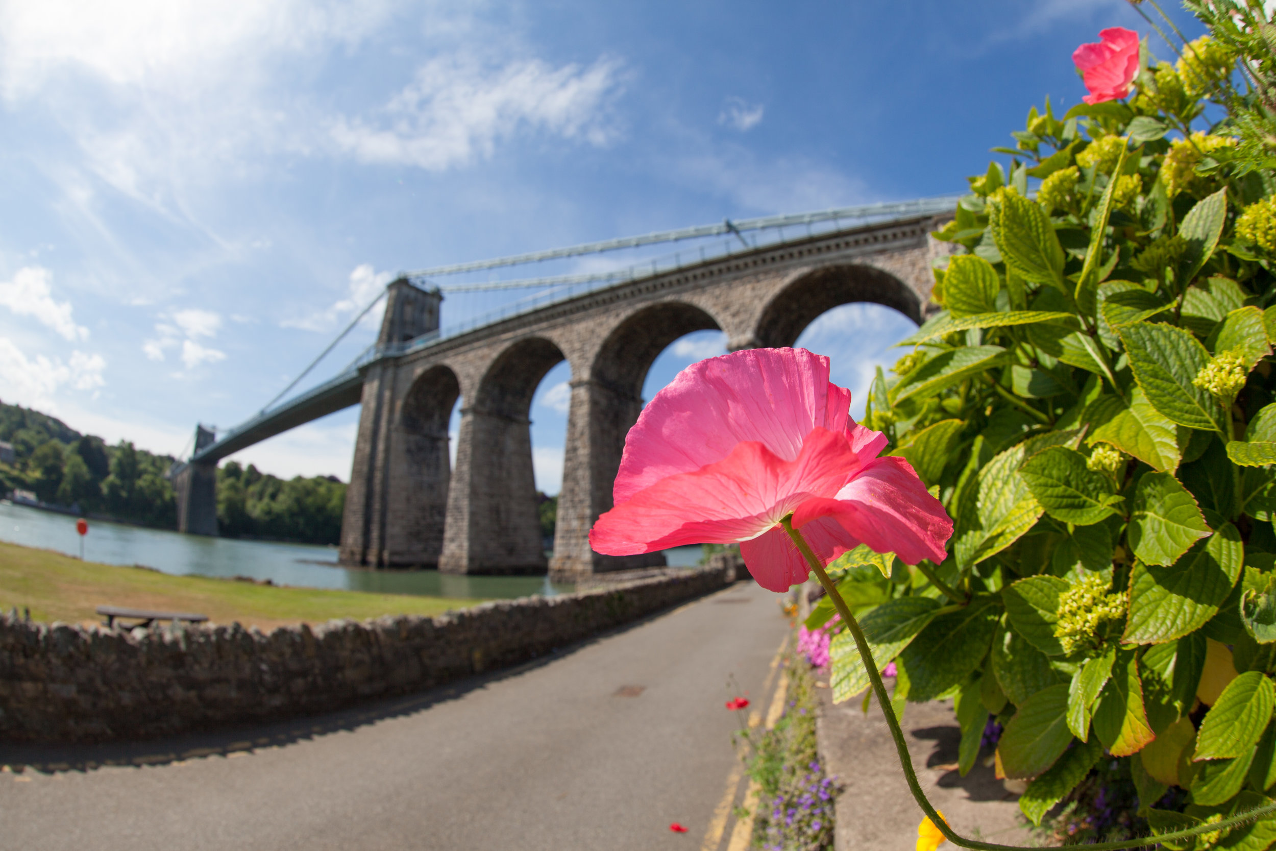 A pink flower in front of Bridge over the Menai Strait, Anglesey, North Wales.