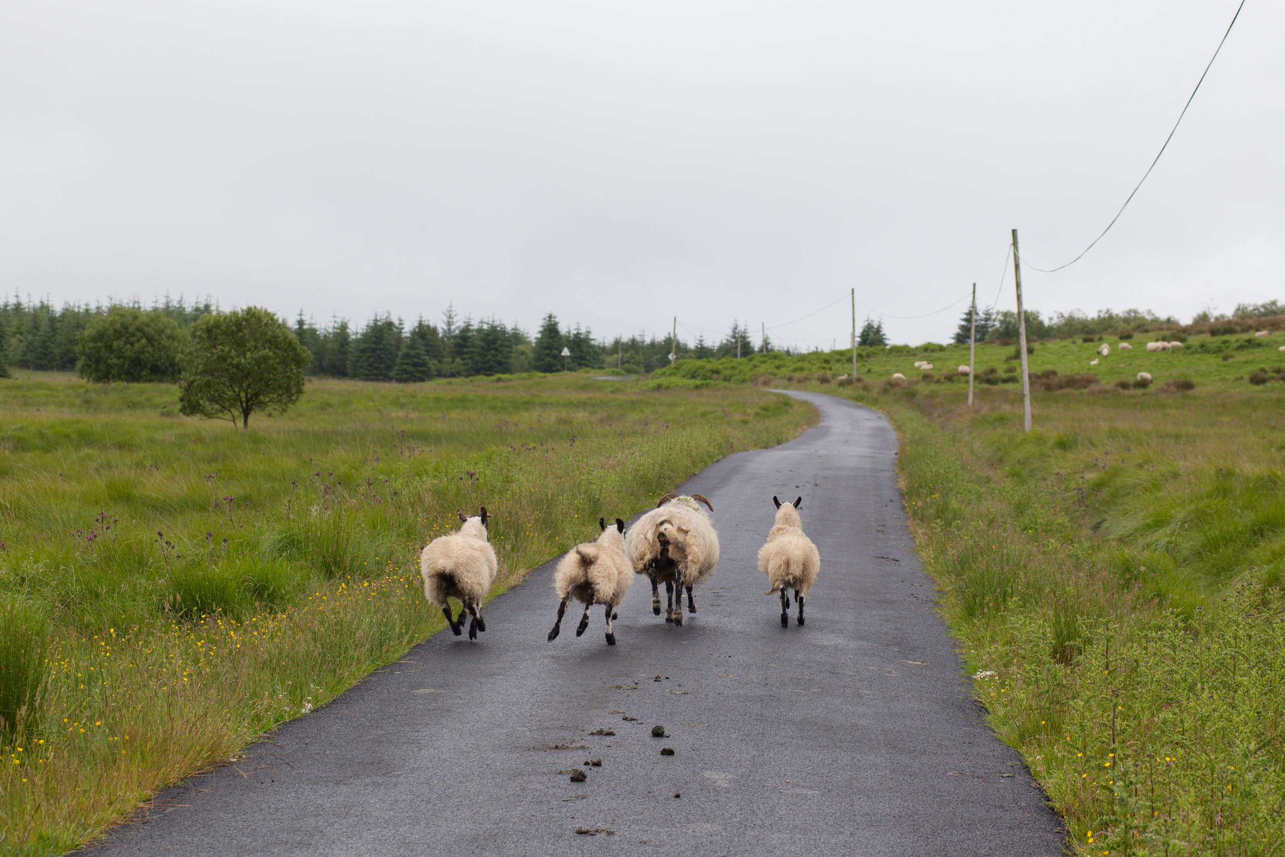 A family of sheep run along a road in Scotland.