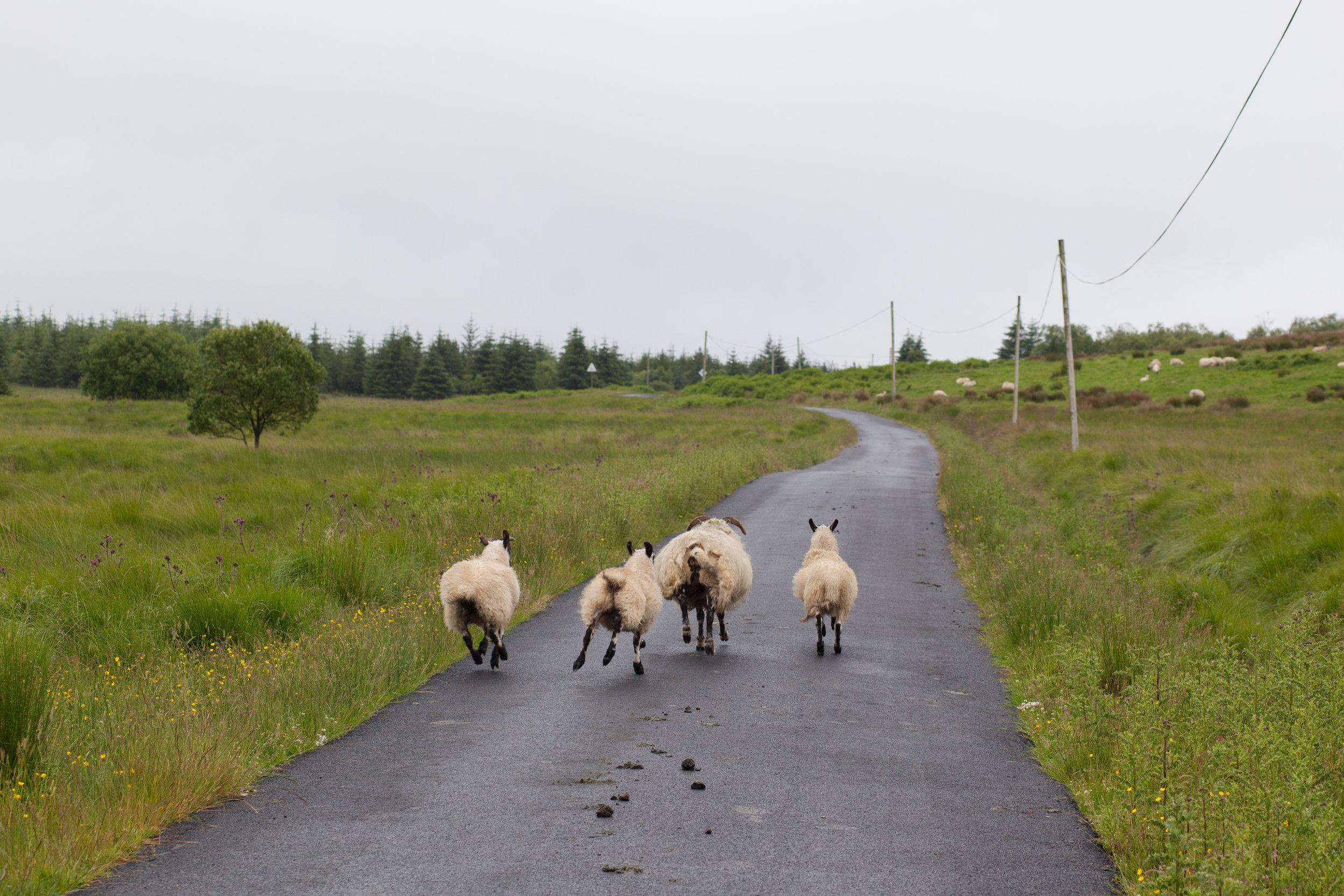A family of sheep run along a road in Scotland.