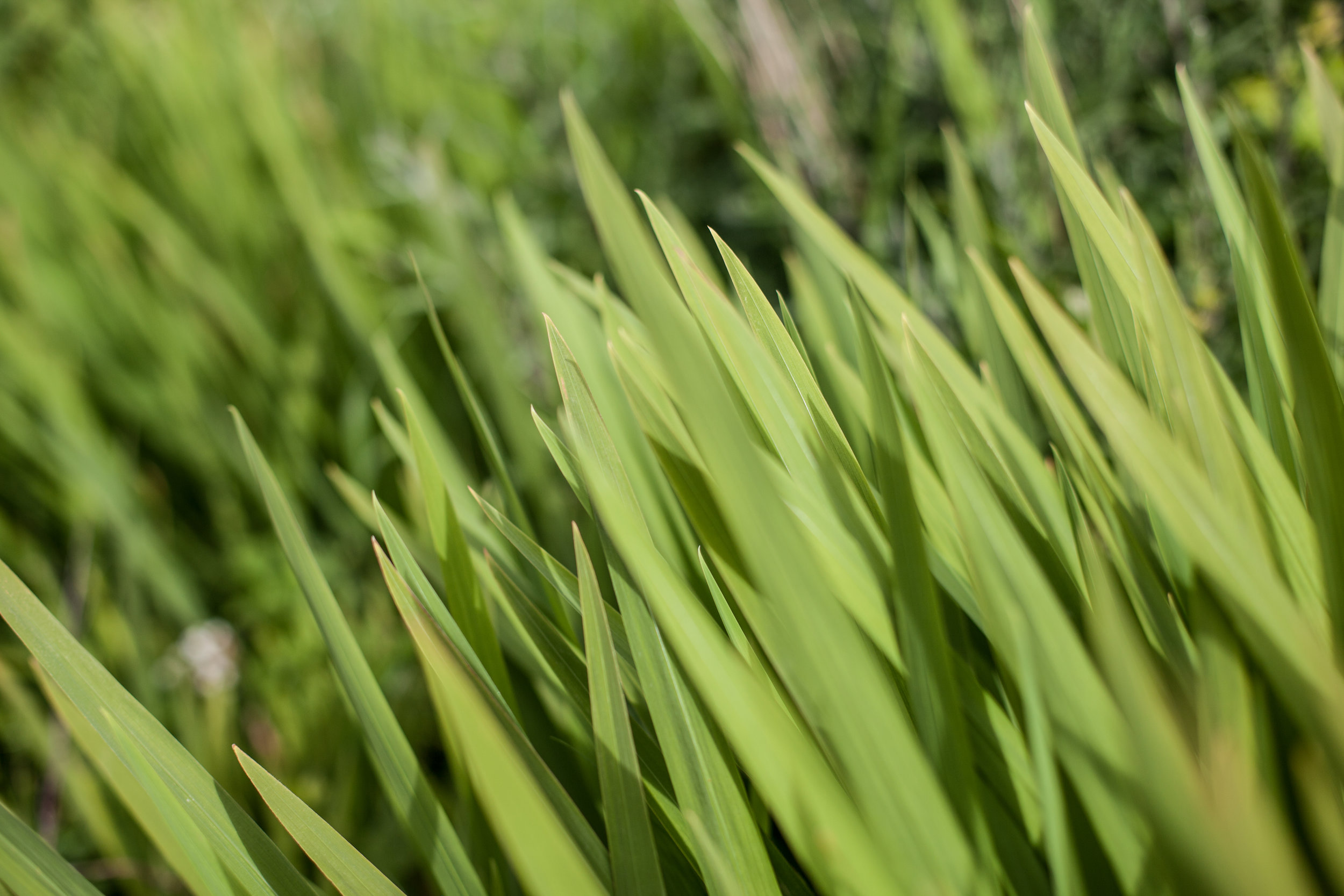 An artistic close up of some grass in Great Britain.