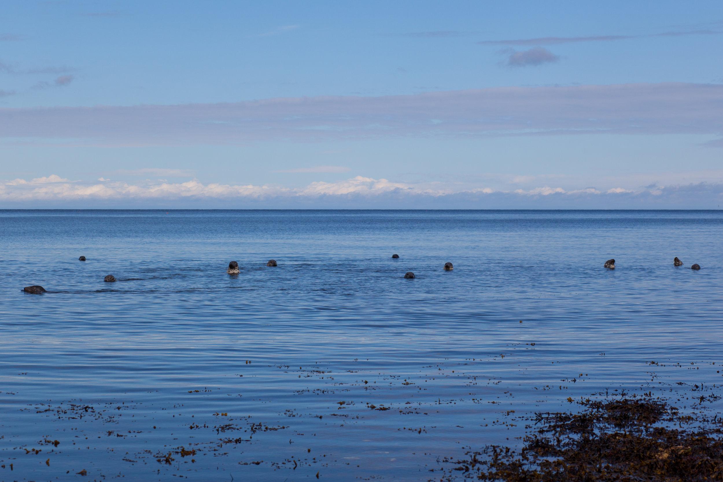 Seals off the coastline of Scotland.