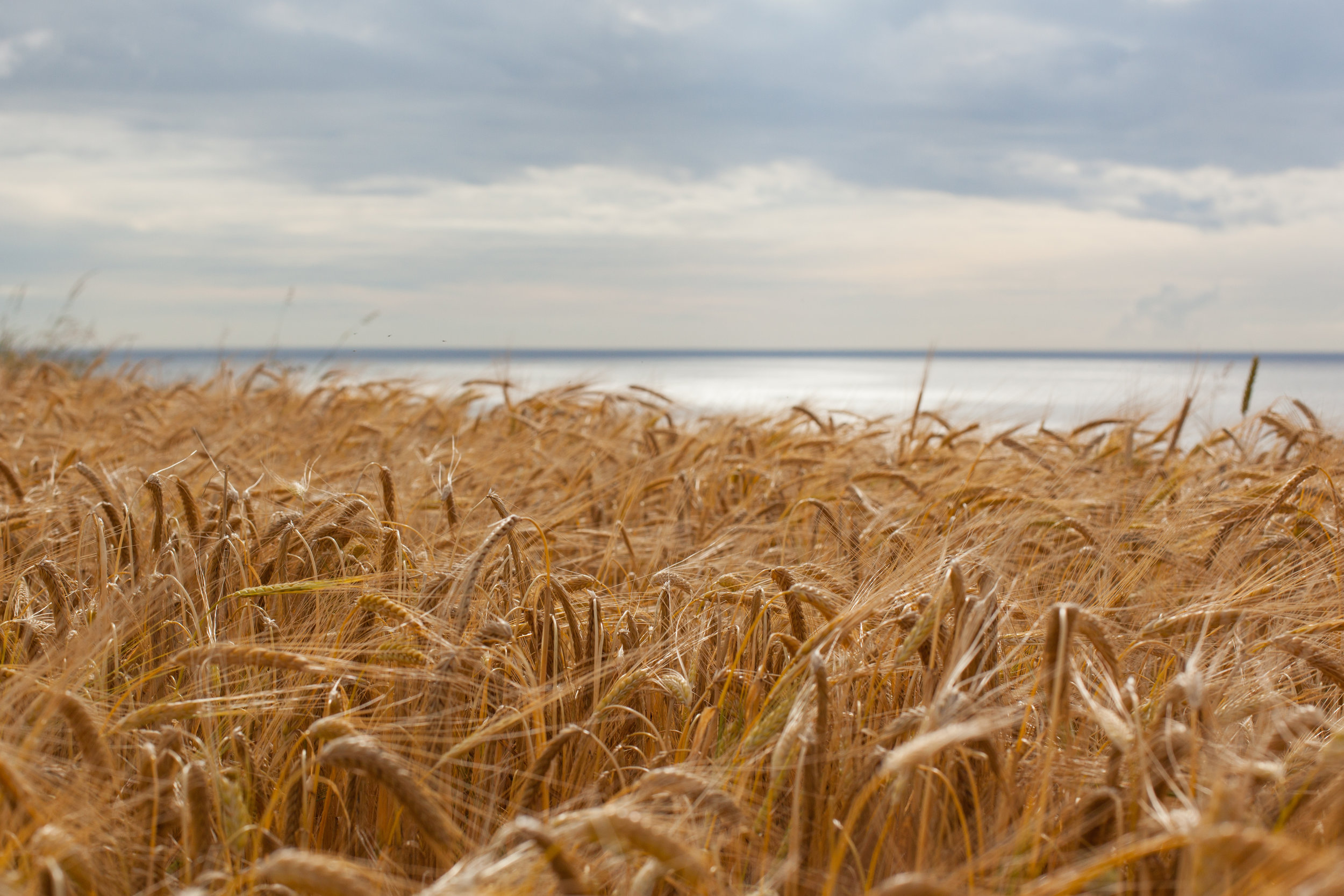 A field of gold...
