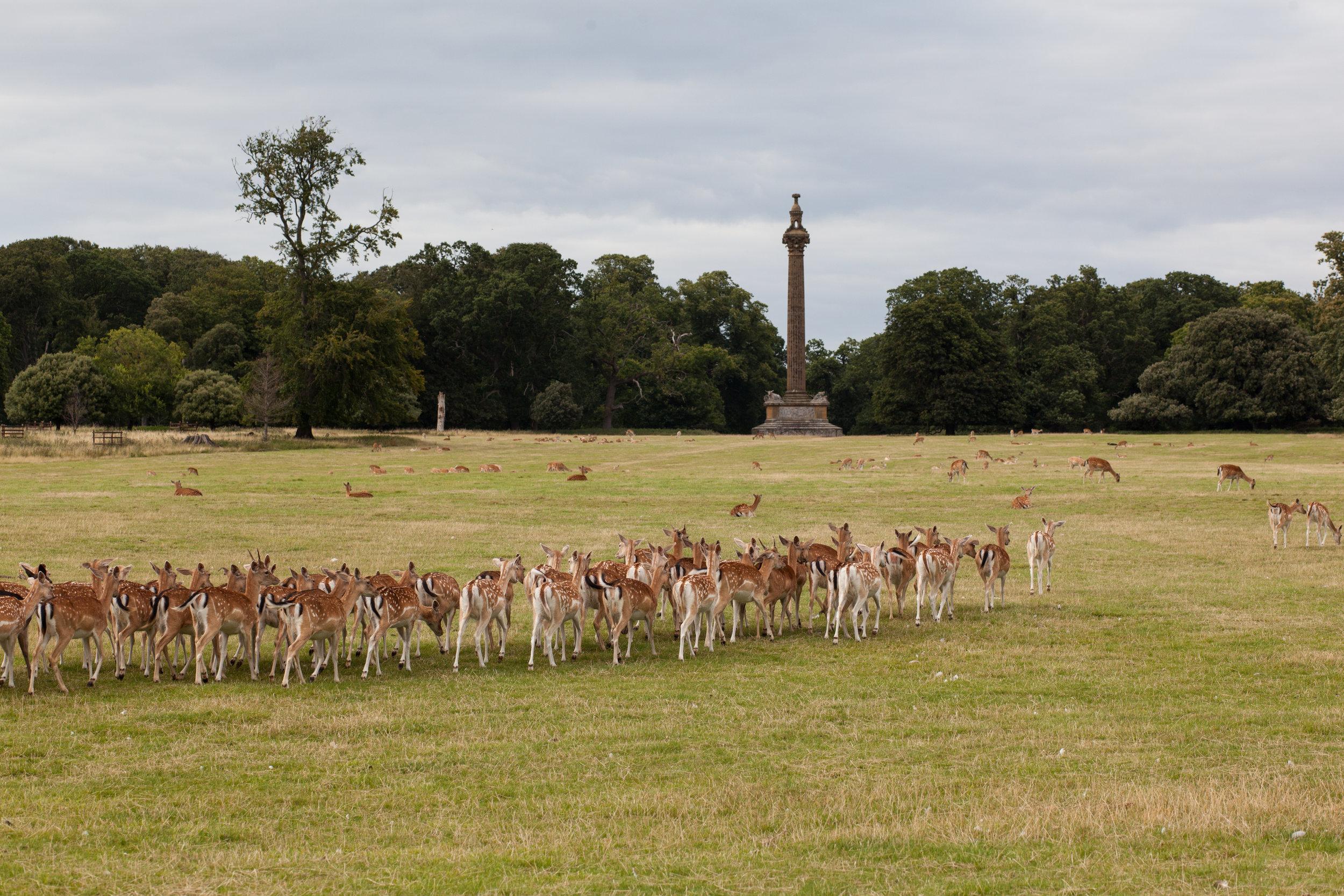 Deer in a field in England.