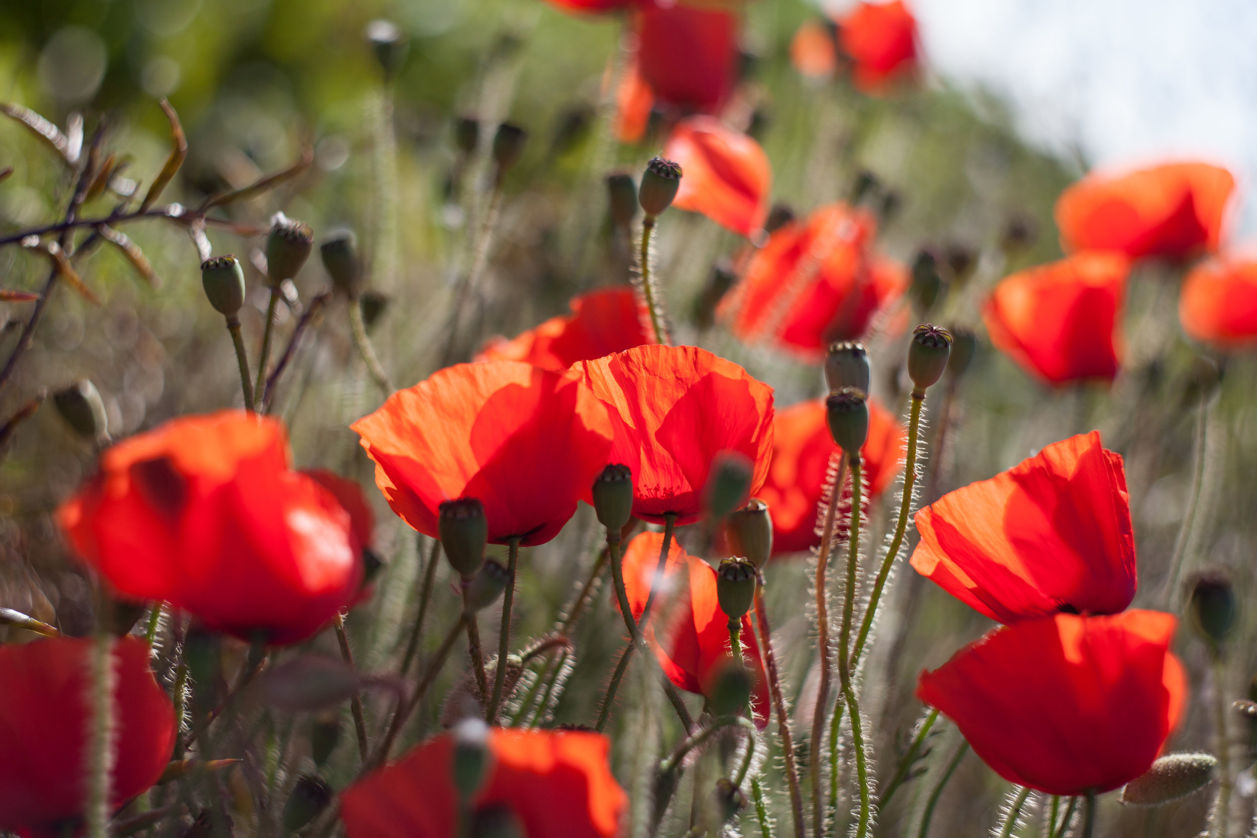 Beautiful wild poppies in England in this artistic nature photograph.