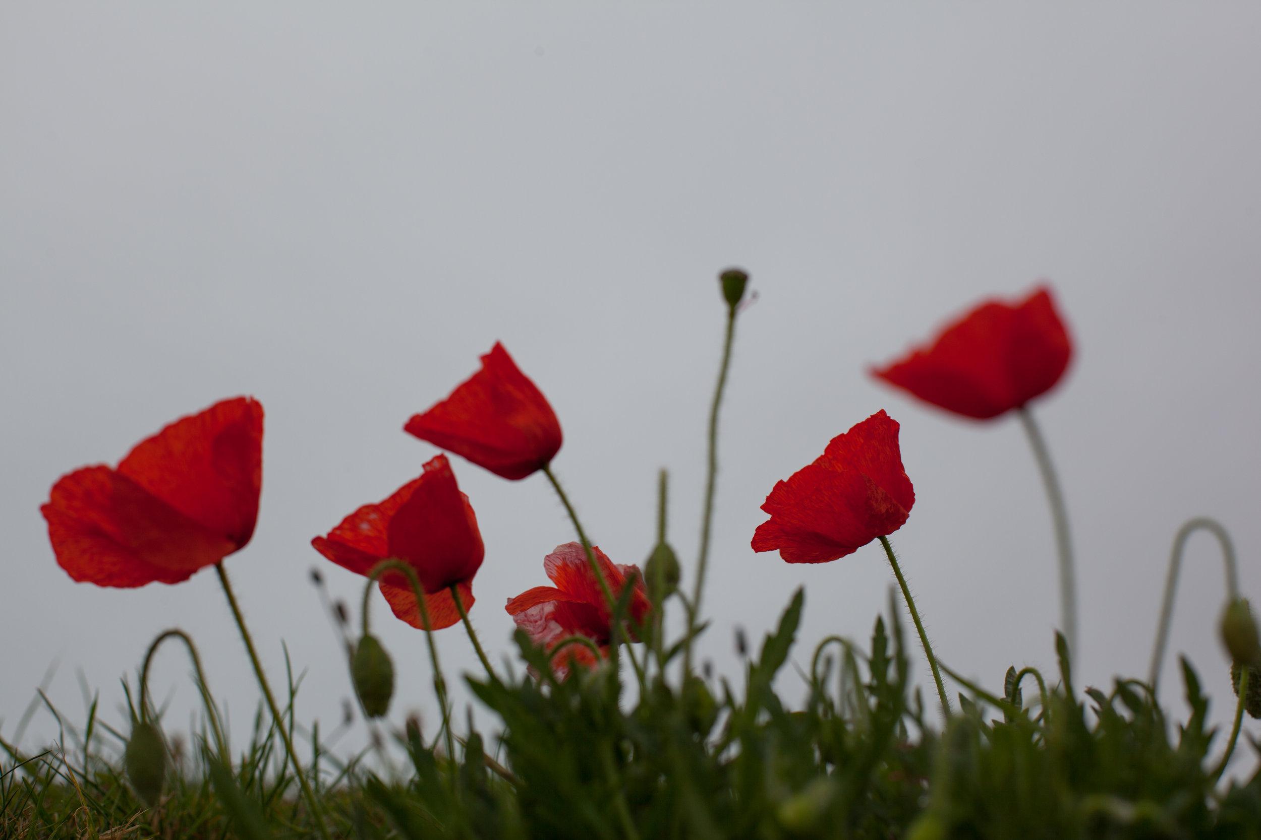 Wild poppies England.