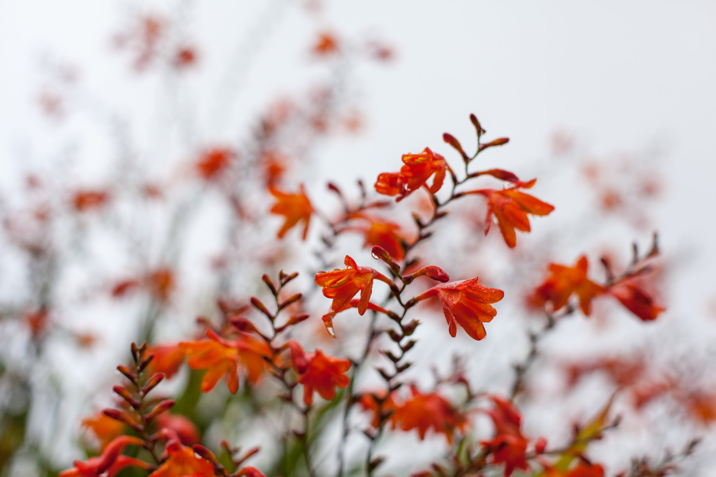 Orange will flowers in England.