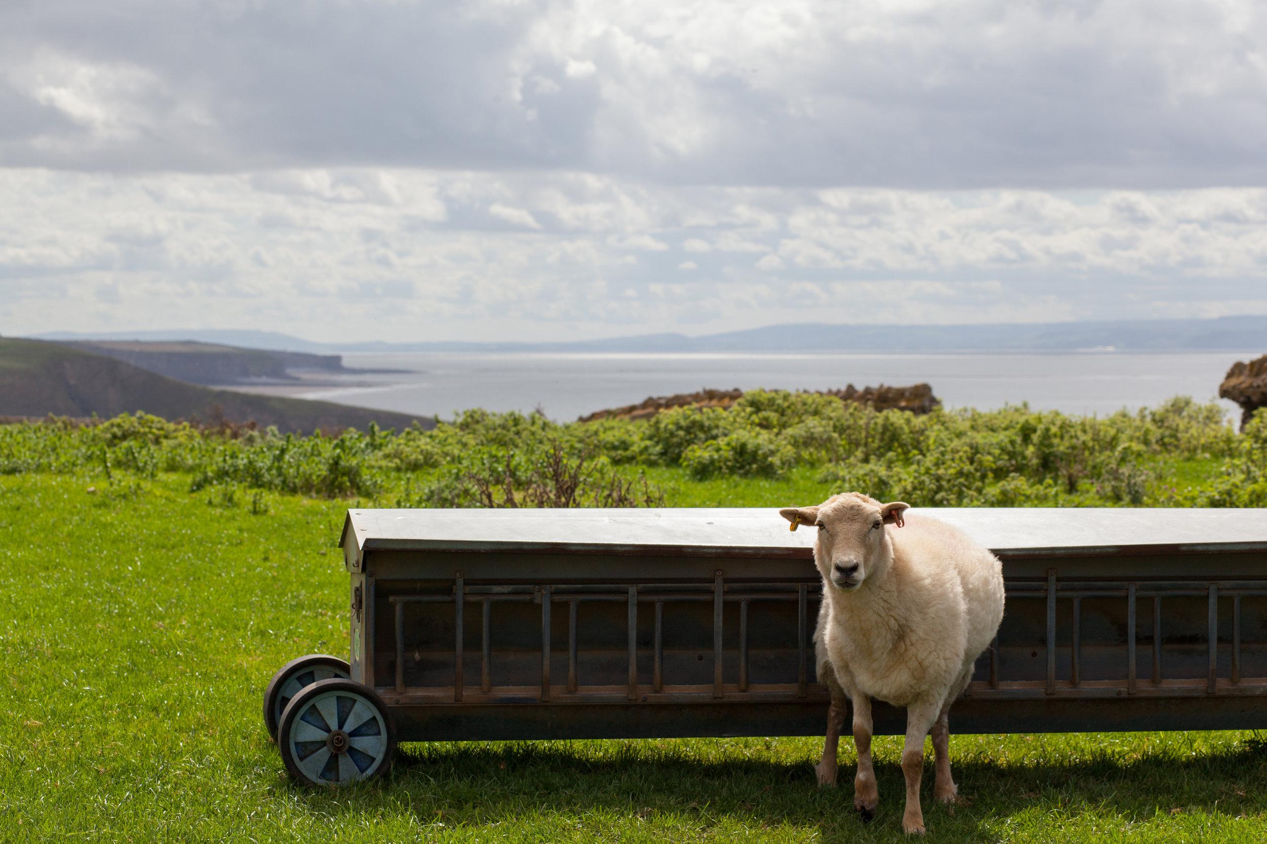 Sheep, Wales.