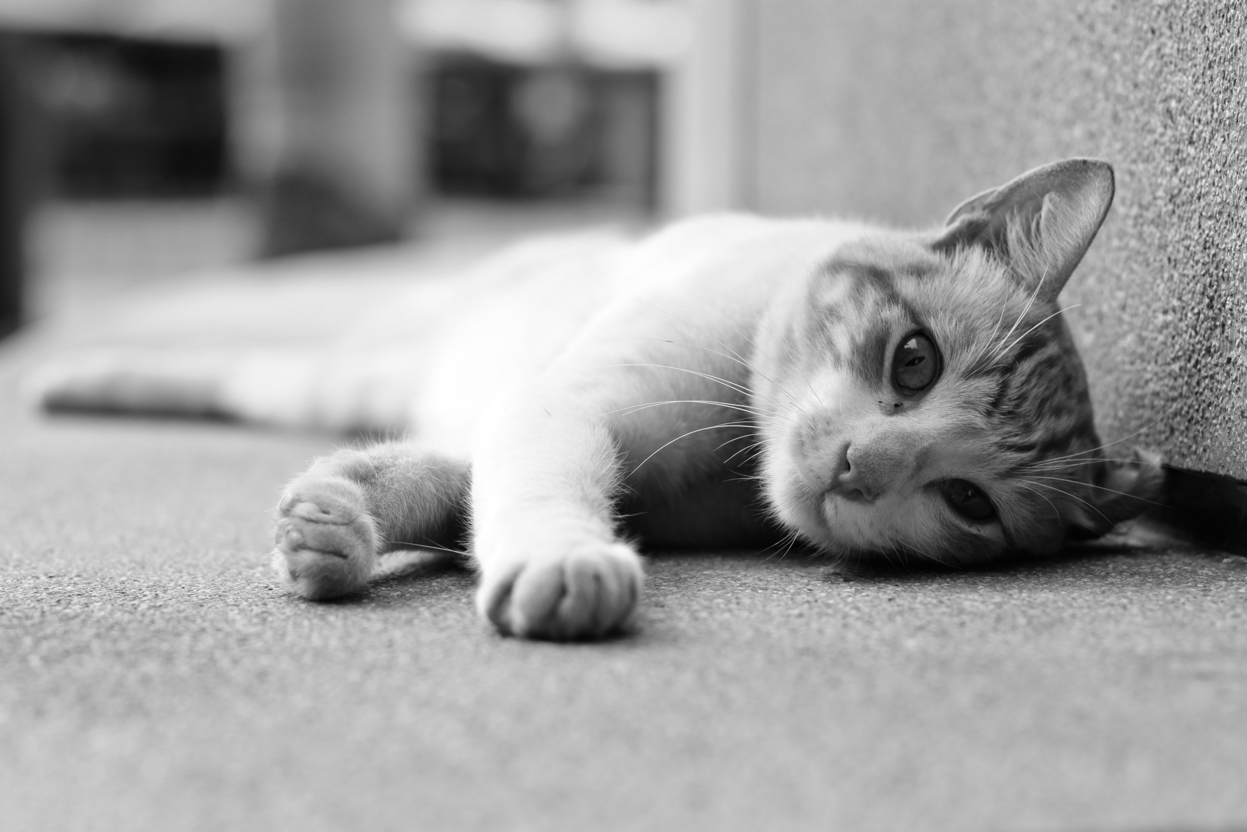 Black and white cat photography in Lima.