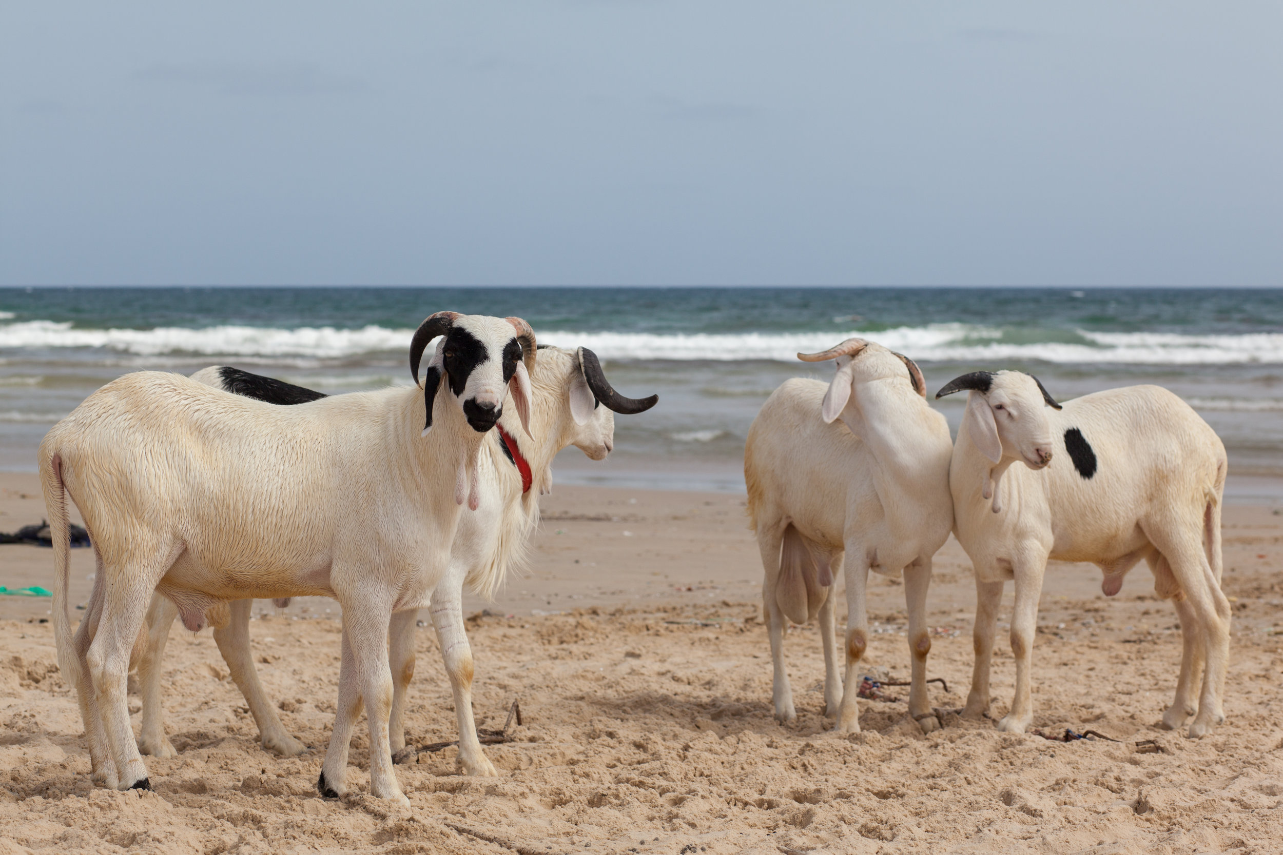 Sheep on the beach at Yoff in Dakar.
