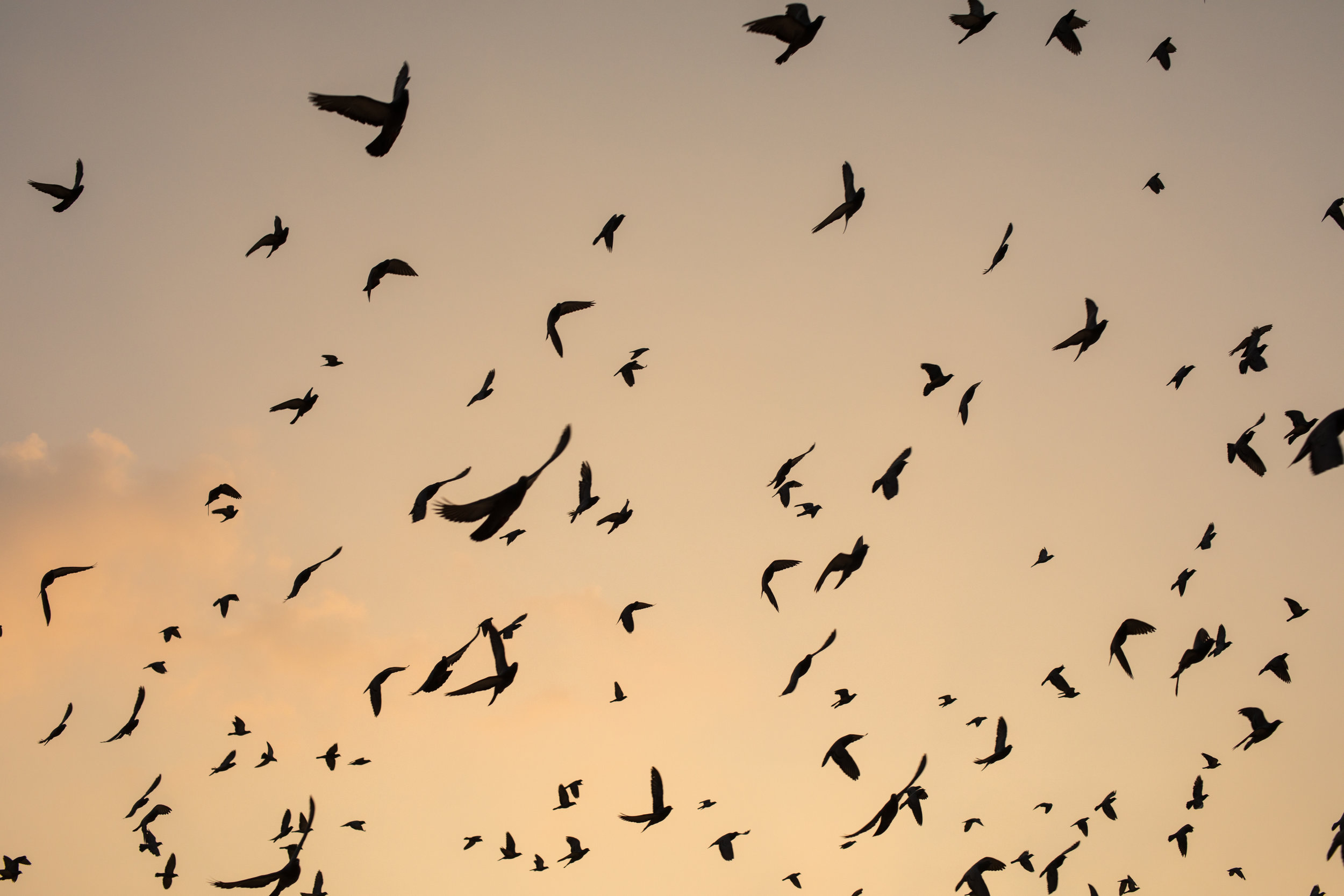 Golden skies filled with birds in India at sunrise.