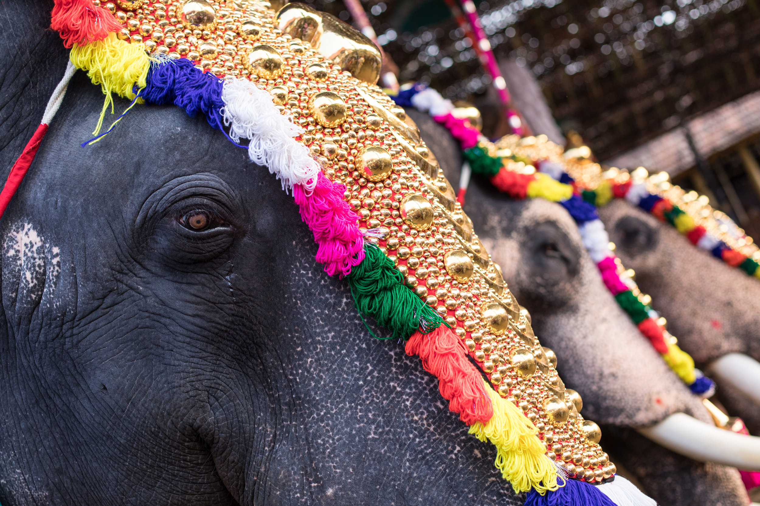 Decorated Elephants at a Festival in India.