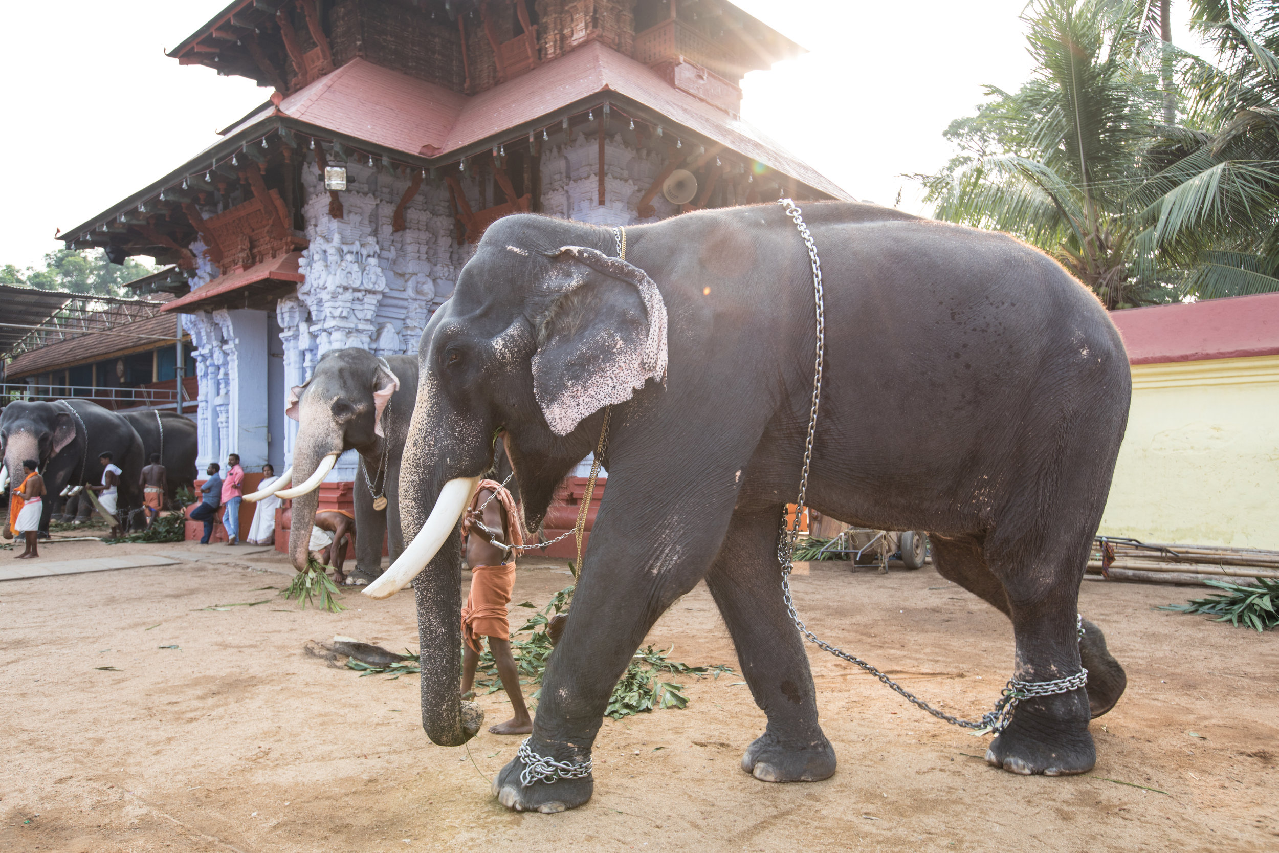 Elephant at a Temple in Kochi.