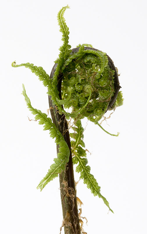 Athyrium filix-femina Victoriae 2