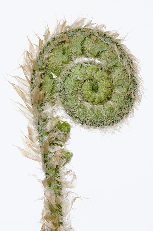 Polystichum acrostichoides 1