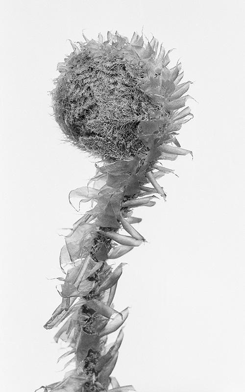 Polystichum neolobatum 1