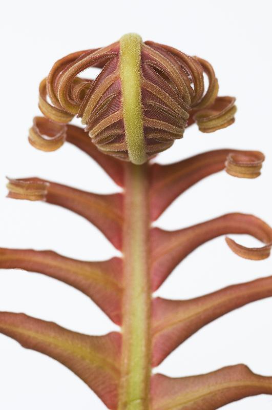 Red Leaf Tree Fern 4