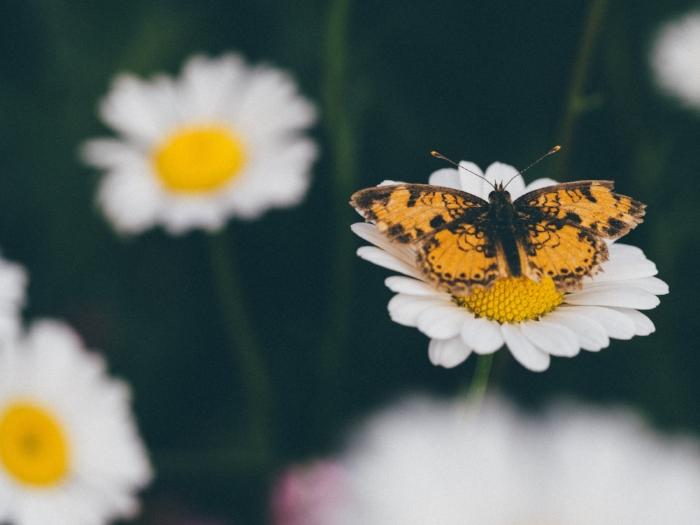 butterfly daisy.jpg