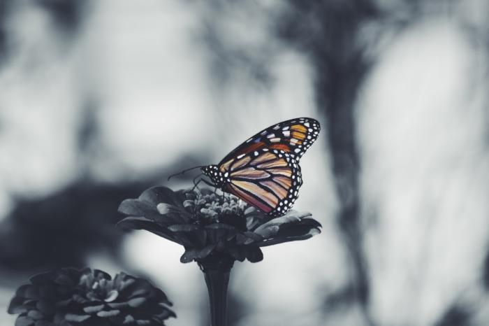 butterfly c.jpg