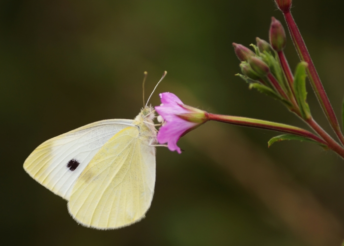 butterfly e.jpg