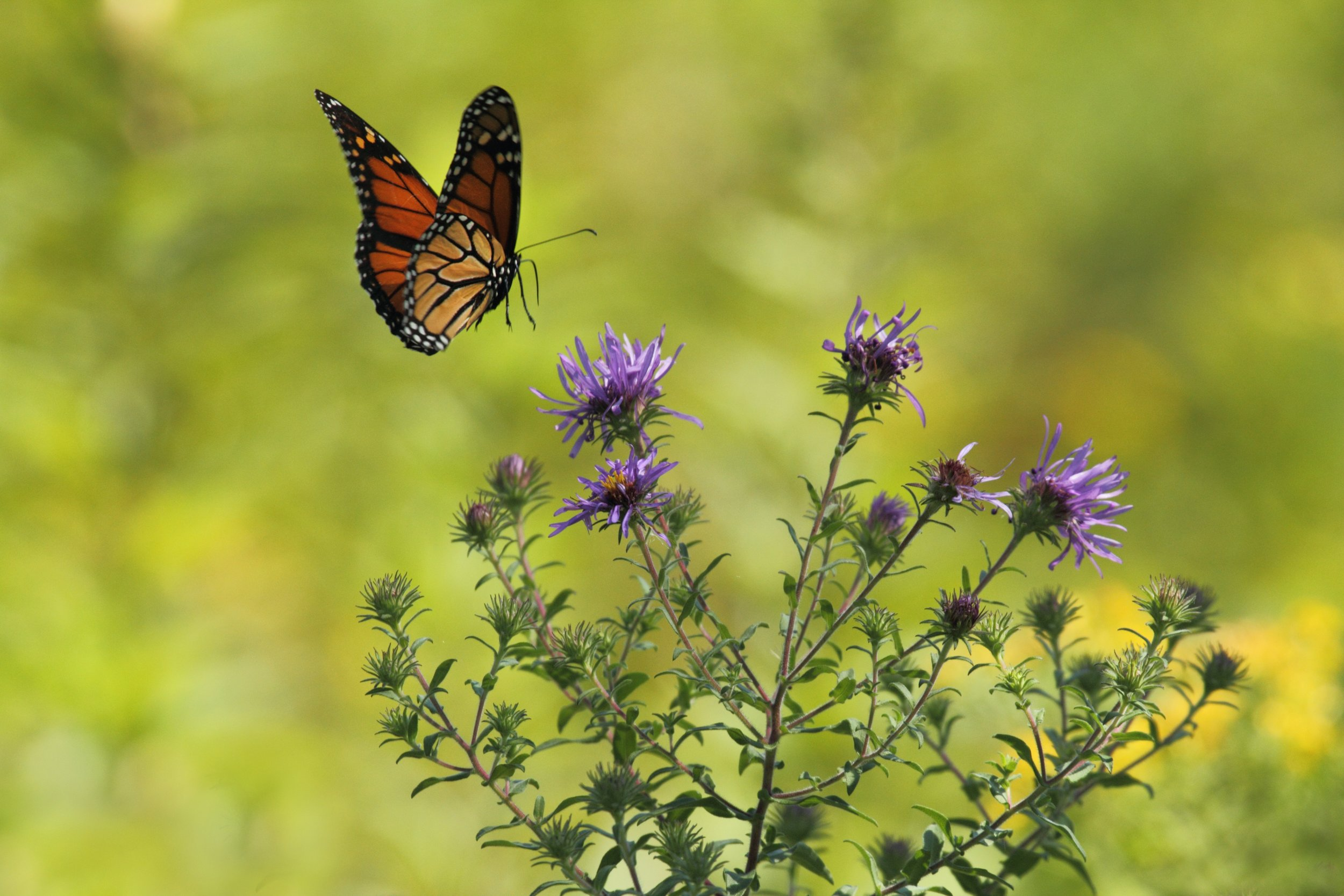 butterfly g.jpg
