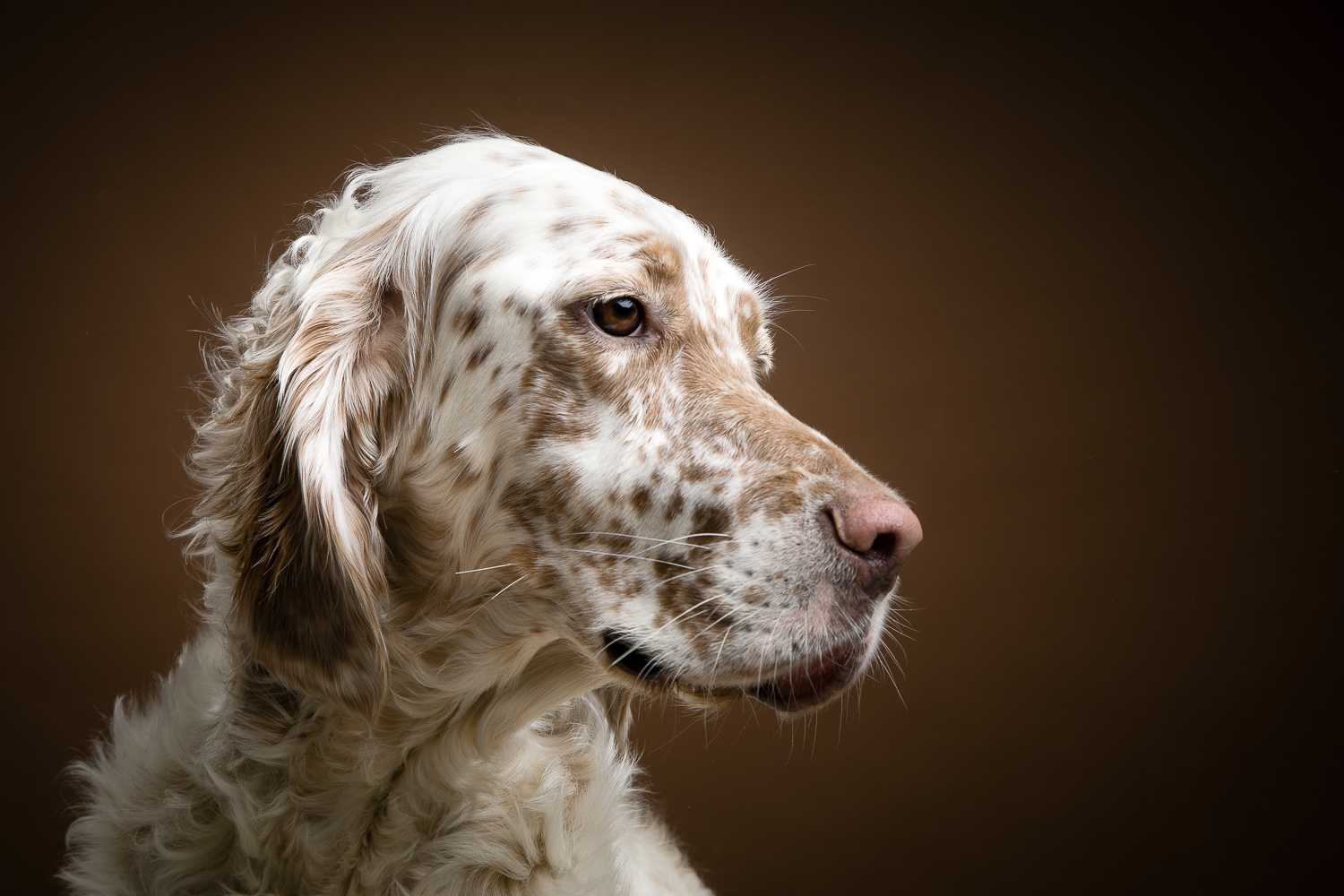English Setter on brown background