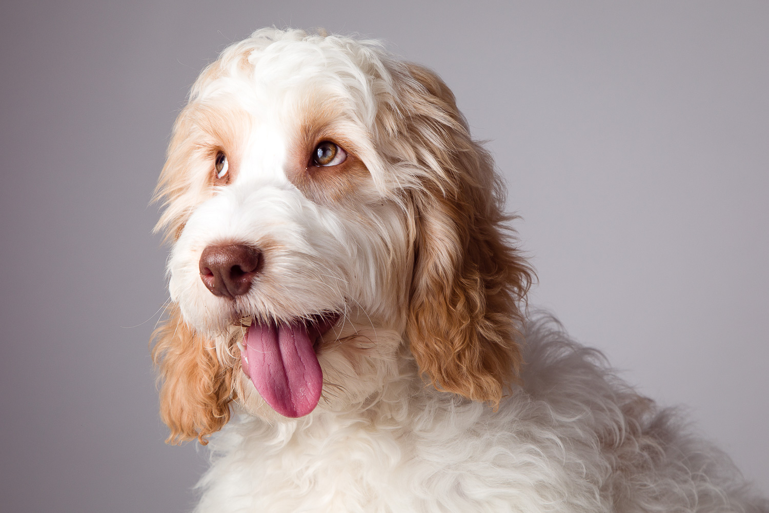 Cockapoo on grey background with tongue out