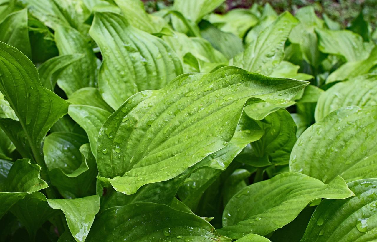 Top 5 plants for your home garden hosta The Sherri Patterson Team Keller Williams Folsom.jpg