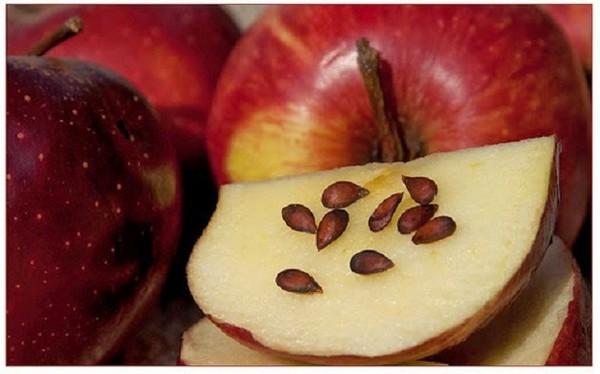 cancer-apple-seeds_tn.jpg