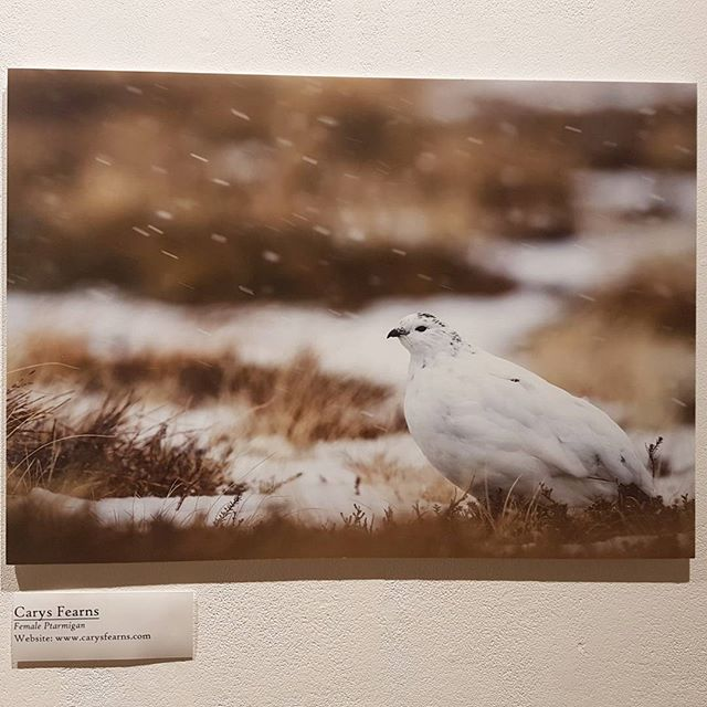 The gallery for the Cairngorms was a success and I'm so proud of what I was able to accomplish for it.  #gallery #falmouth #falmouthuniversity #birds #cairngorms #curator #curatorfindme #photography #wildlifephotography #wildlife #prints #printsforsale #photoprints