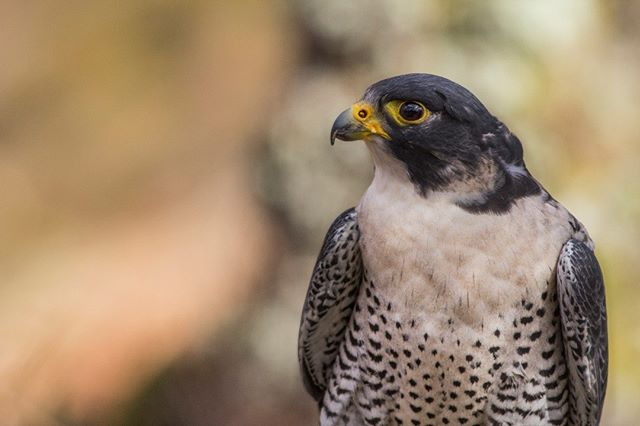 Peregrines are one of my all time favourite raptors, gorgeous, bold and the one of fastest animals in our history. I met this glorious girl in cairngorms with her falconer (captive this time). #bird #birdofprey #peregrinefalcon #raptor #feathers #colour #lovescotland #photography #nature #femalephotographer #canon #curator #cairngorms #falconer #captive #birdsofinstagram #falcon
