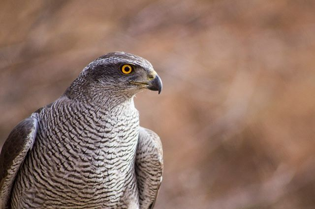 Goshawks were nearly wiped out in the UK until the successful work of falconers and breeders released healthy pairs of the species back into the wild, there is now a estimate of over 430 breeding pairs of Goshawks in the wild! However, they are still persecuted and their nests are frequently robbed of their eggs by poachers and collectors.