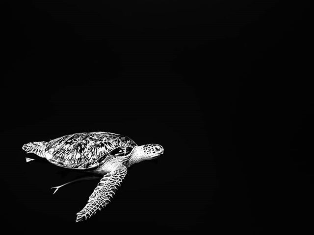 34 days and then another Red Sea liveaboard scuba diving holiday. Can't wait to see these beautiful creatures. 🥽🏝️ #ocean #uw_tiinautti  #redsea #seaturtle #blackandwhite #marinelife #poweranimal #scubadiving #xdeep #girlsthatscuba #underwaterphotography #divingphoto #divingwithturtles