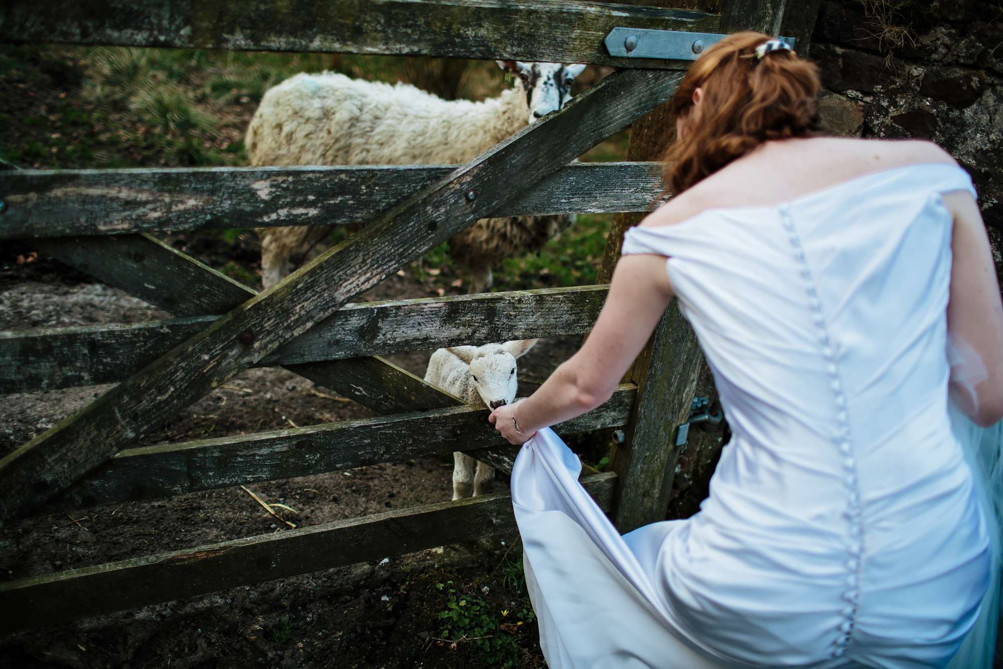 Bride stroking the lambs at her Browsholme Hall Wedding