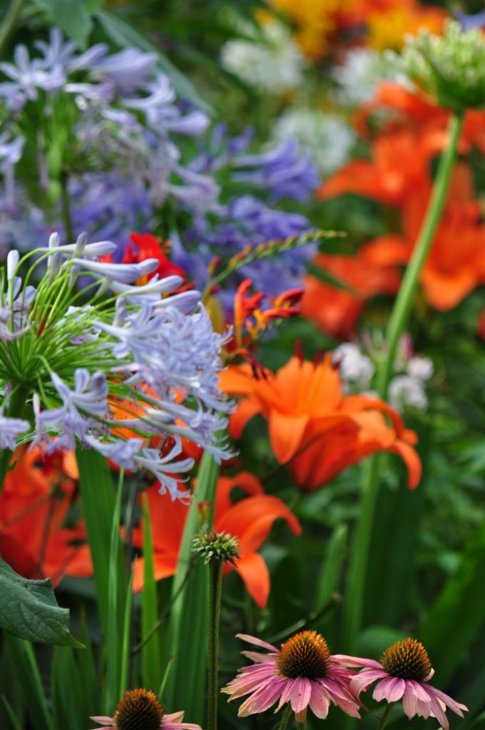 Agapanthus_daylily_Echinacea.jpg