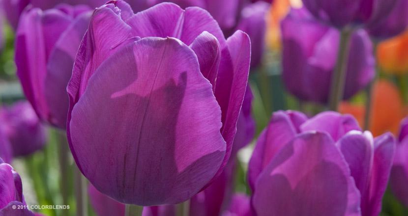 PurpleTulip2.jpg