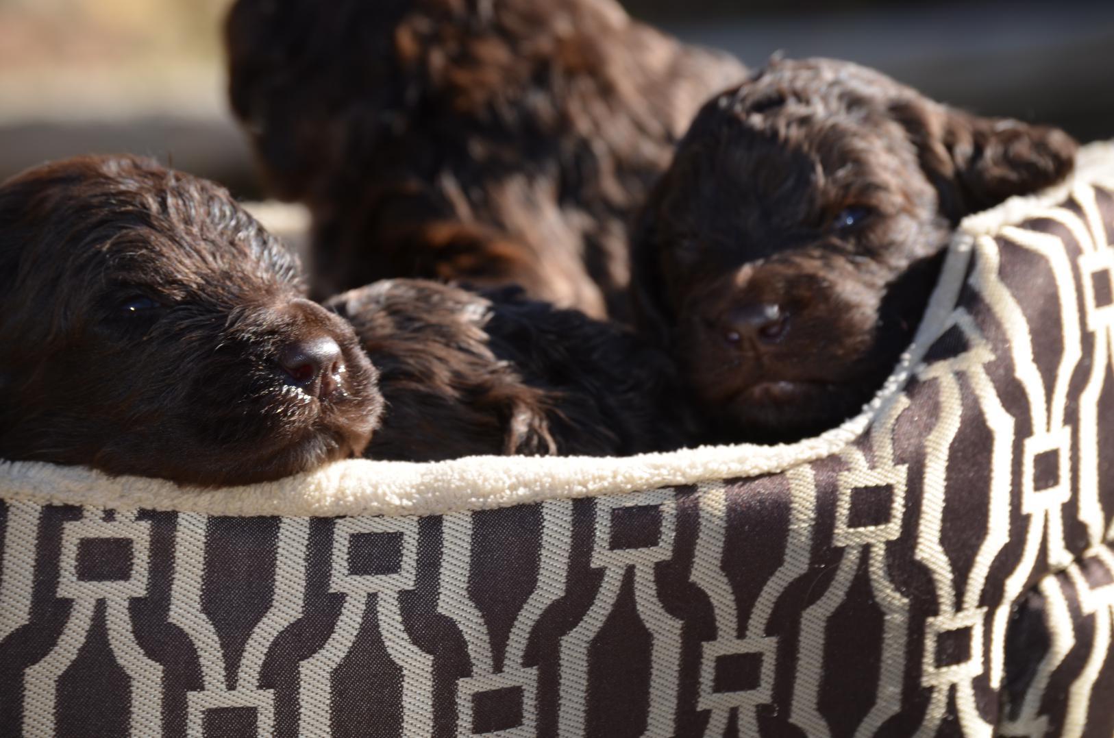 Chocolate-Newfiedoodle-puppy (11).jpeg