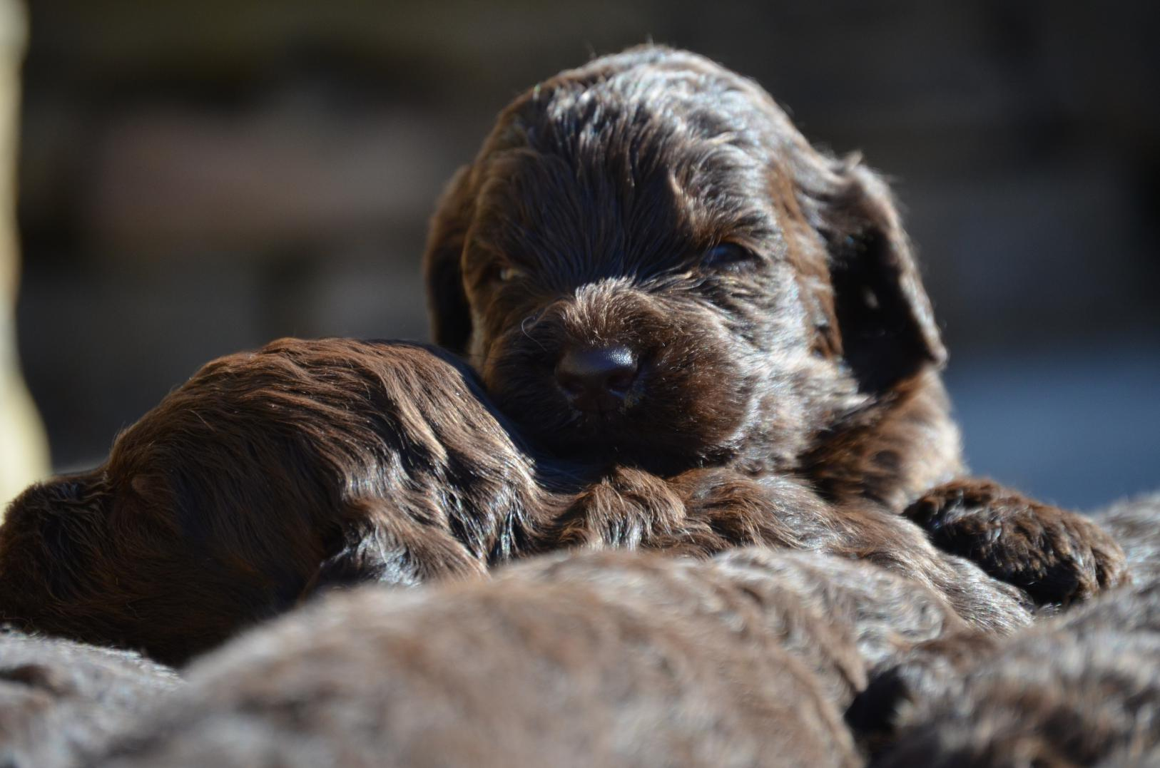 Chocolate-Newfiedoodle-puppy (7).jpeg