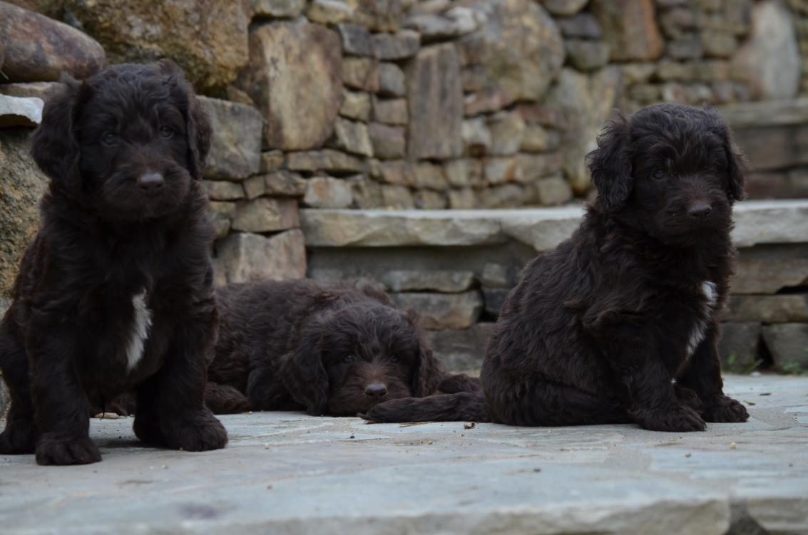 Chocolate-Newfiedoodle-puppy (2).jpeg